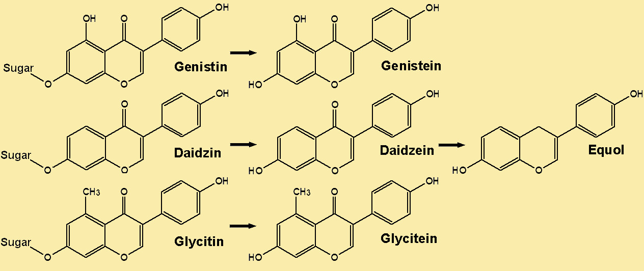 metablism of isoflavones
